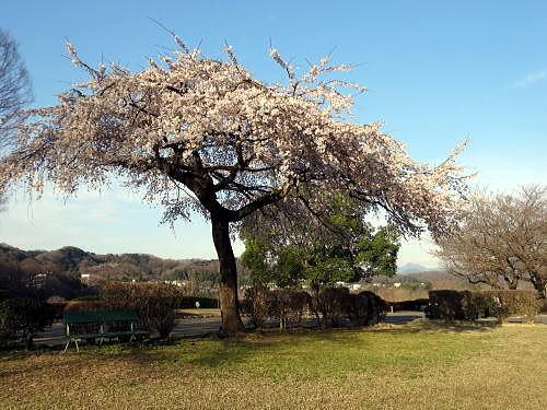 ● しだれ桜と大岳山_500.jpg