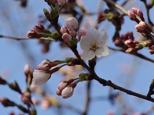 ● 総合グランドの桜の開花3.29.jpg